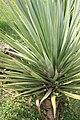 Yucca elephantipes 18zz.jpg