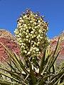 Yucca schidigera 29.jpg