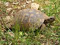 Zakynthos May 2009 Turtle at Askos Stone Park - panoramio.jpg