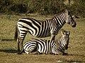Zebras in Tanzania 3934 Nevit.jpg