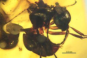 Zigrasimecia - Z. ferox paratype, specimen JWJ-Bu18b