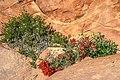 Zion Nat'l Park - desert Paintbrush - (19924353199).jpg