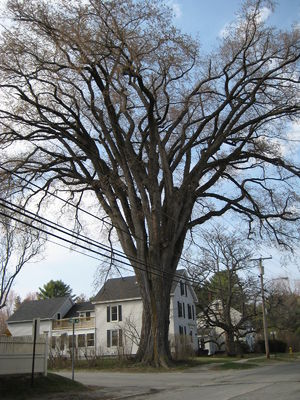 Ulmus americana - An April 21, 2008, picture of Herbie