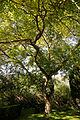 'Sophora japonica' Feeringbury Manor garden, Feering Essex England.jpg