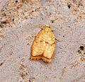 (1036) Acleris forsskaleana - Flickr - Bennyboymothman (1).jpg