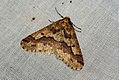(1935) Mottled Umber (Erannis defoliaria) (4036892286).jpg