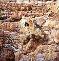(2335) Slender Brindle (Apamea scolopacina) (35774390331).jpg