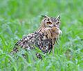 (9) Indian Eagle Owl at Shonkaliya Rajasthan India July 2013.jpg