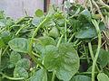 (Basella alba) Malabar spinach at Bandlaguda 01.JPG