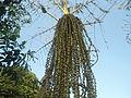 (Caryota urens) Palm tree at Shivaji Park 04.JPG