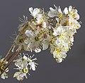 (MHNT) Filipendula vulgaris - Inflorescence2.jpg