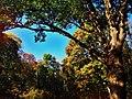 «Тургеневский дуб» в усадьбе писателя.jpg