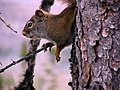 Écureuil derrière un arbre.jpg
