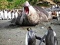 Éléphant de mer mâle - panoramio.jpg