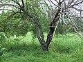 Болезни яблони - черный рак (сорт Самирское)-02.jpg