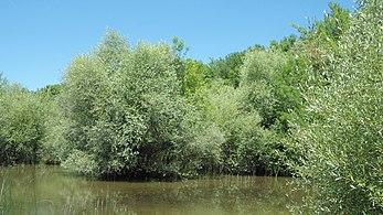 Върби (Salix alba).jpg