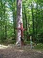 Віковий дуб у Кузьминському лісництві.JPG