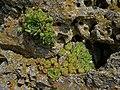 Дебелец (Sempervivum zeleborii) на Побитите камъни.jpg