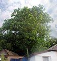 Дуб черешчатий 48.jpg