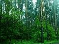 Ділянка лісу між селами Смородина, Кам'янка.jpg