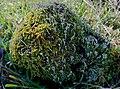 Кладония бесформенная - Cladonia deformis - Lesser Sulphur-cup Lichen (24847387169).jpg
