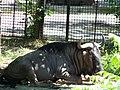 Николаевский зоопарк. Антилопа Гну. - panoramio.jpg