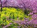 まつだ桜まつり (Cherry blossoms festa at Matsuda, Kanagawa) 18 Mar, 2012 - panoramio.jpg