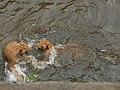 南京红山森林动物园狮虎 - panoramio.jpg