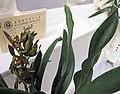 報歲中華第一龍 Cymbidium sinense 'No. 1 Dragon of China' -香港沙田國蘭展 Shatin Orchid Show, Hong Kong- (24490854344).jpg