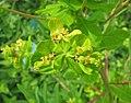 大戟屬 Euphorbia lucida -維也納高山植物園 Belvedere Alpine Garden, Vienna- (28506738183).jpg