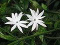 山素英 Jasminum hemsleyi -香港動植物公園 Hong Kong Botanical Garden- (9227099707).jpg