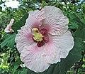 山芙蓉 Hibiscus taiwanensis -台中自然科學博物館 Taichung Museum of Natural Science, Taiwan- (15689650421).jpg