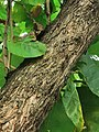 柚木 Tectona grandis 20200922091200 02.jpg