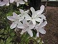 短果杜鵑 Rhododendron brachycarpum -比利時 Ghent University Botanical Garden, Belgium- (9237372769).jpg