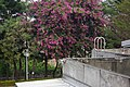 艷紫荊 Bauhinia blakeana Dunn - panoramio.jpg