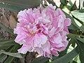 芍藥-美人面 Paeonia lactiflora 'Beauty Face' -上海植物園 Shanghai Botanical Garden (12403737595).jpg