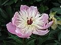 芍藥 Paeonia lactiflora Bowl of Beauty -英格蘭 Wisley Gardens, England- (9255247406).jpg