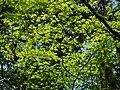 近つ飛鳥風土記の丘にて Japanese maple 2013.3.30 - panoramio (1).jpg