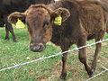 黒島の牛671.jpg