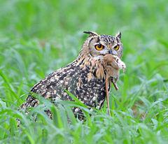 240px (9) indian eagle owl at shonkaliya rajasthan india july 2013