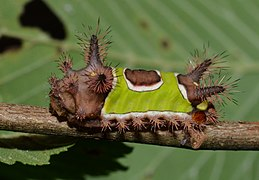 formally known as Sibine stimulea, commonly known as the Saddleback caterpillar).