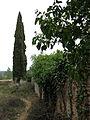 048 Cementiri abandonat de Marmellar, rere l'església, xiprers.JPG