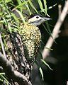 060328 green-barred woodpecker CN - Flickr - Lip Kee.jpg