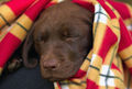 12-week-old Choclolate Labrador Retriever Puppy.jpg