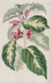 1227 Graptophyllum pictum (L.) Griff. M. Hart.png