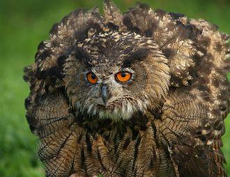 Owlman - An Eagle-Owl