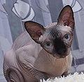 1 adult cat Sphynx. img 013.jpg