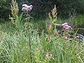 1 növény 7 - 2011.07.20.jpg