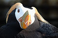 2. Tufted Puffin (Fratercula cirrhata).jpg