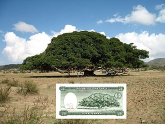 Eritrean nakfa - The back of the five Nakfa bank note with the actual Ficus sycomorus tree shown above it.